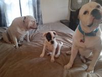 American Bulldog Puppies for sale in Ohio Union, Columbus, OH 43210, USA. price: NA