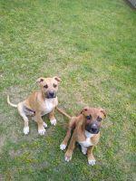 American Bulldog Puppies for sale in Augusta, GA 30906, USA. price: NA