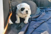American Bulldog Puppies Photos