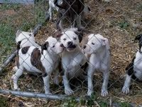 American Bulldog Puppies for sale in Des Moines, IA, USA. price: NA