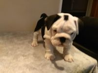 American Bulldog Puppies for sale in New York, NY, USA. price: NA