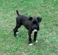 American Bulldog Puppies for sale in Knoxville, TN, USA. price: NA