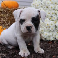 American Bulldog Puppies for sale in Canton, OH, USA. price: NA