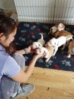 American Bulldog Puppies for sale in Central Park West, New York, NY, USA. price: NA