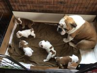 American Bulldog Puppies for sale in Los Angeles, CA, USA. price: NA