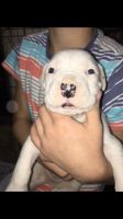 American Bulldog Puppies for sale in Wolcottville, IN 46795, USA. price: NA