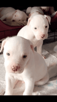 American Bulldog Puppies for sale in Central Ave, Jersey City, NJ, USA. price: NA