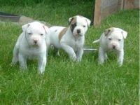 American Bulldog Puppies for sale in Houston, TX, USA. price: NA