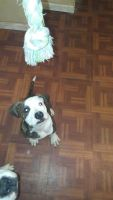American Bulldog Puppies for sale in Toledo, OH, USA. price: NA