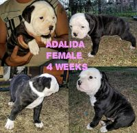 American Bulldog Puppies for sale in Fruitvale, TX, USA. price: NA