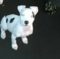 American Bulldog Puppies for sale in Cleveland, OH, USA. price: NA