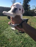 American Bulldog Puppies for sale in Ontario, CA 91758, USA. price: NA