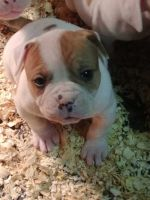 American Bulldog Puppies for sale in West Islip, NY, USA. price: NA