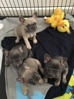 American Bulldog Puppies for sale in Texas City, TX, USA. price: NA