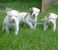 American Bulldog Puppies for sale in Cheyenne, WY, USA. price: NA