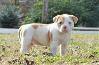 American Bulldog Puppies for sale in Fremont, CA, USA. price: NA