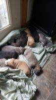 American Bulldog Puppies for sale in PASS CHRIS, MS 39571, USA. price: NA