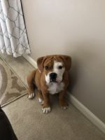 American Bulldog Puppies for sale in Fort Wayne, IN, USA. price: NA