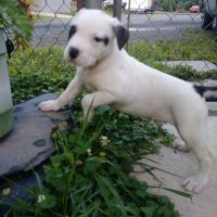 American Bulldog Puppies for sale in Whiteford, MD 21160, USA. price: NA