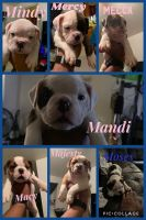 American Bulldog Puppies for sale in Maywood, IL 60155, USA. price: NA
