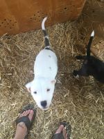 American Bulldog Puppies for sale in Liberty, KY 42539, USA. price: NA