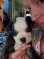 American Bulldog Puppies for sale in Reeseville, WI 53579, USA. price: NA