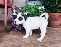American Bulldog Puppies for sale in Cumby, TX 75433, USA. price: NA