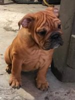 American Bulldog Puppies for sale in San Marcos, CA, USA. price: NA