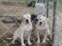 American Bulldog Puppies for sale in Stantonsburg, NC 27883, USA. price: NA