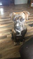 American Bulldog Puppies Photos