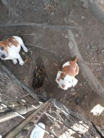 American Bulldog Puppies for sale in Longview, TX, USA. price: NA