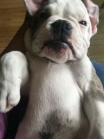 American Bulldog Puppies for sale in 531 N Mountain View Pl, Fullerton, CA 92831, USA. price: NA