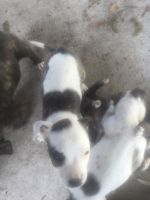American Bulldog Puppies for sale in Beaumont, TX, USA. price: NA