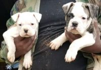 American Bulldog Puppies for sale in Fort Washington, MD, USA. price: NA