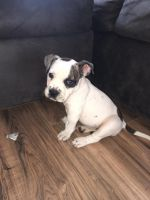 American Bulldog Puppies for sale in Rochester, NY 14611, USA. price: NA