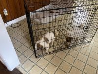 American Bulldog Puppies for sale in Louisville, KY, USA. price: NA