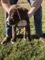 American Bulldog Puppies for sale in Greenwood, IN, USA. price: NA
