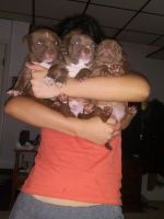 American Bulldog Puppies for sale in Lancaster County, PA, USA. price: NA