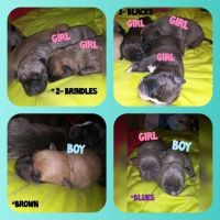 American Bulldog Puppies for sale in Pearl, MS, USA. price: NA