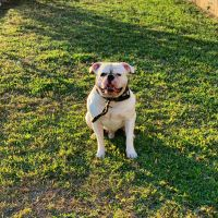 American Bulldog Puppies for sale in Metairie, LA, USA. price: NA