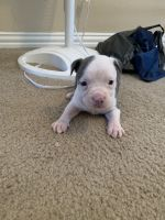 American Bulldog Puppies for sale in Humble, TX, USA. price: NA