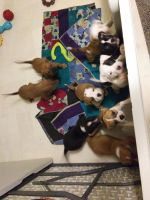 American Bulldog Puppies for sale in Highview Rd, East Peoria, IL 61611, USA. price: NA