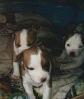 American Bulldog Puppies for sale in Lowry City, MO 64763, USA. price: NA
