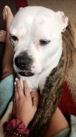 American Bulldog Puppies for sale in Beach City, OH 44608, USA. price: NA