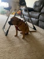 American Bulldog Puppies for sale in Langley AFB, VA 23665, USA. price: NA