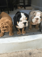 American Bulldog Puppies for sale in Reynoldsville, PA 15851, USA. price: NA