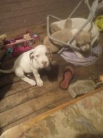 American Bulldog Puppies for sale in Webster, FL 33597, USA. price: NA