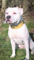 American Bulldog Puppies for sale in Portland, OR, USA. price: NA