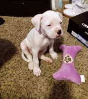 American Bulldog Puppies for sale in Arvada, CO, USA. price: NA