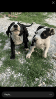American Bulldog Puppies for sale in Rogers, AR, USA. price: NA